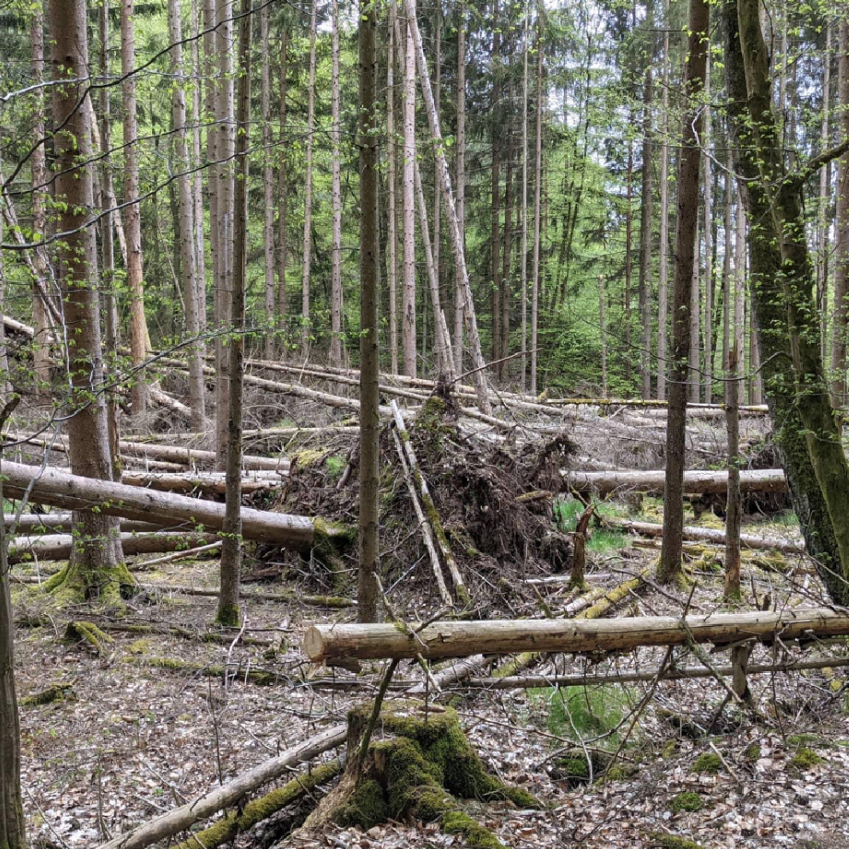 Wald Mikado Forrest Mikado